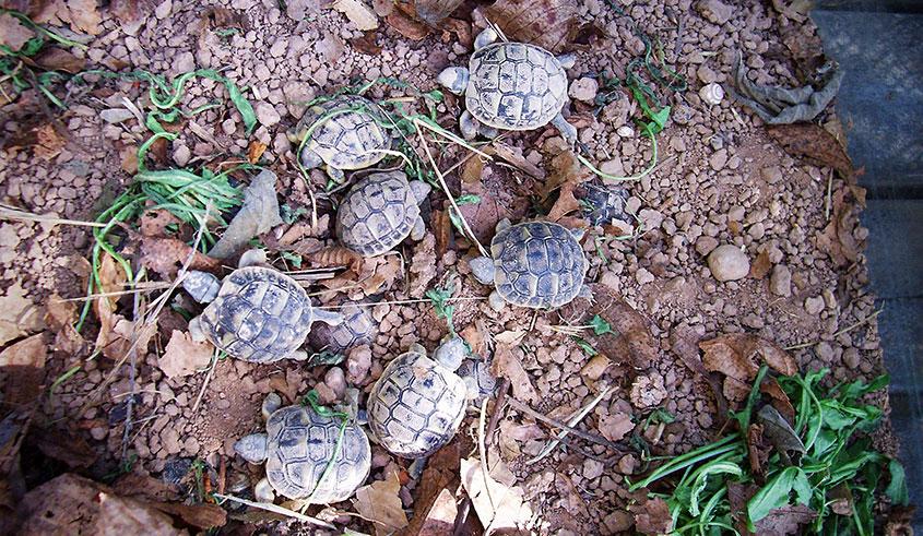 Foto tortugues petites